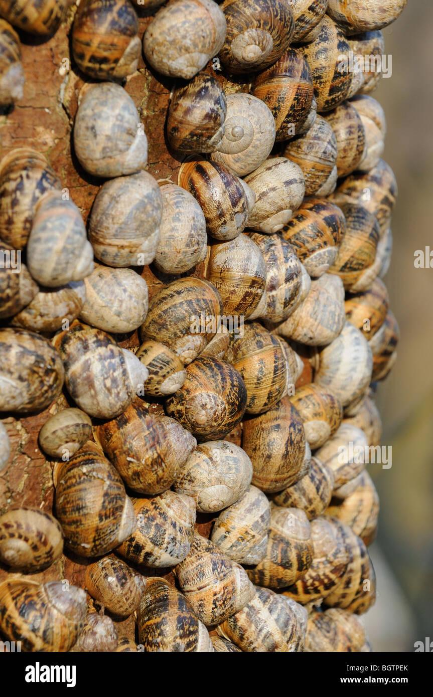 Common garden snails, helix aspersa, large group hibernating on Sycamore tree, Norfolk Uk December - Stock Image