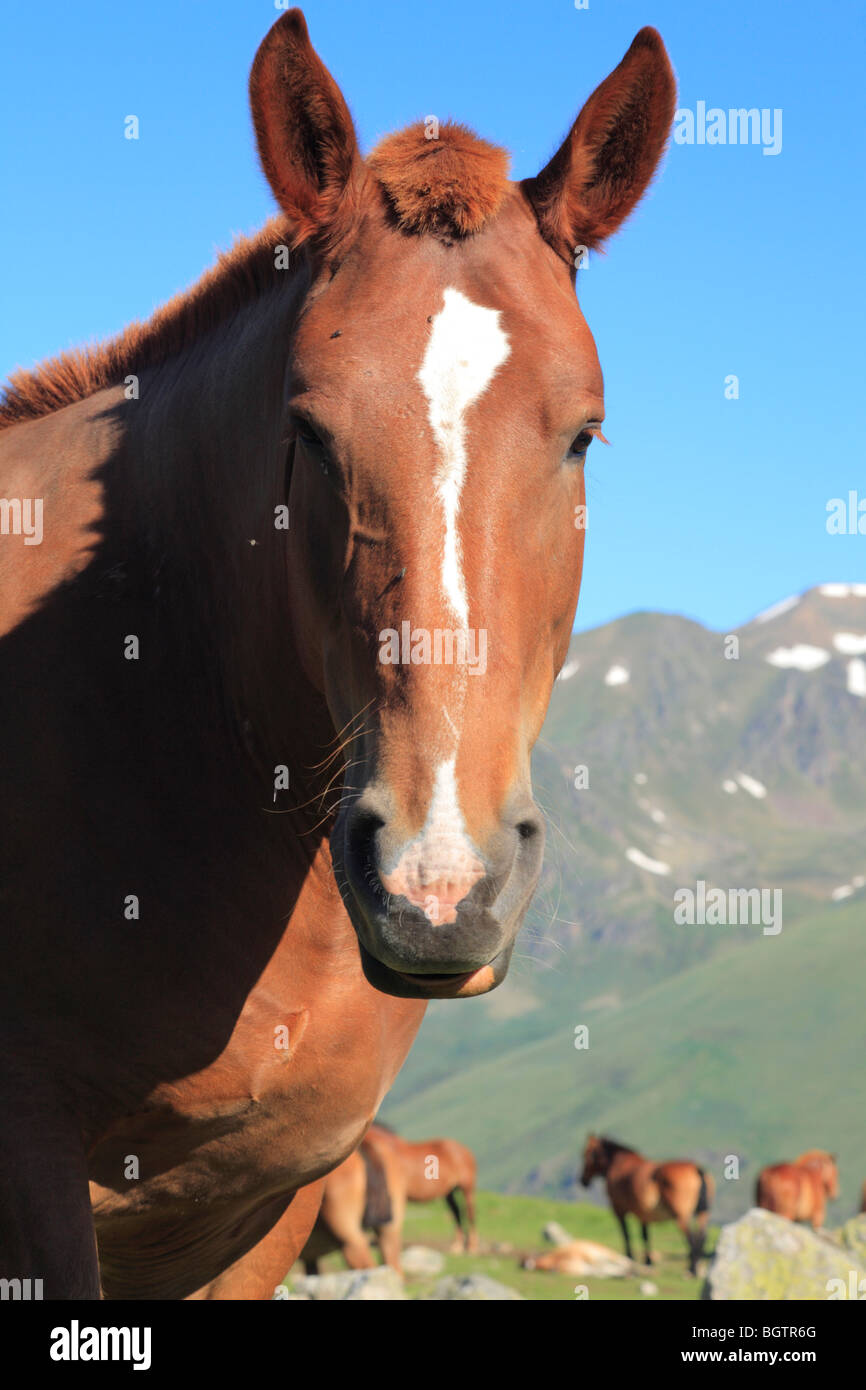 Comtois horses grazing an alpine meadow near the Col de Puymorens, Pyrénées-Orientales, France. - Stock Image