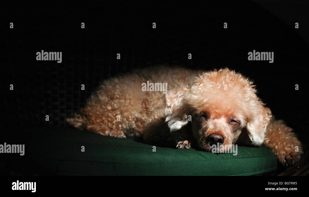 Apricot Miniature Poodle rest heads on paws  - Stock Image
