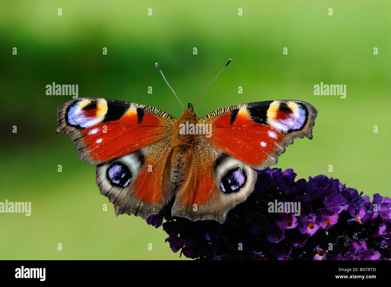 Peacock Butterfly (Inachis io) resting on buddleia flower, Oxfordshire, UK. Stock Photo