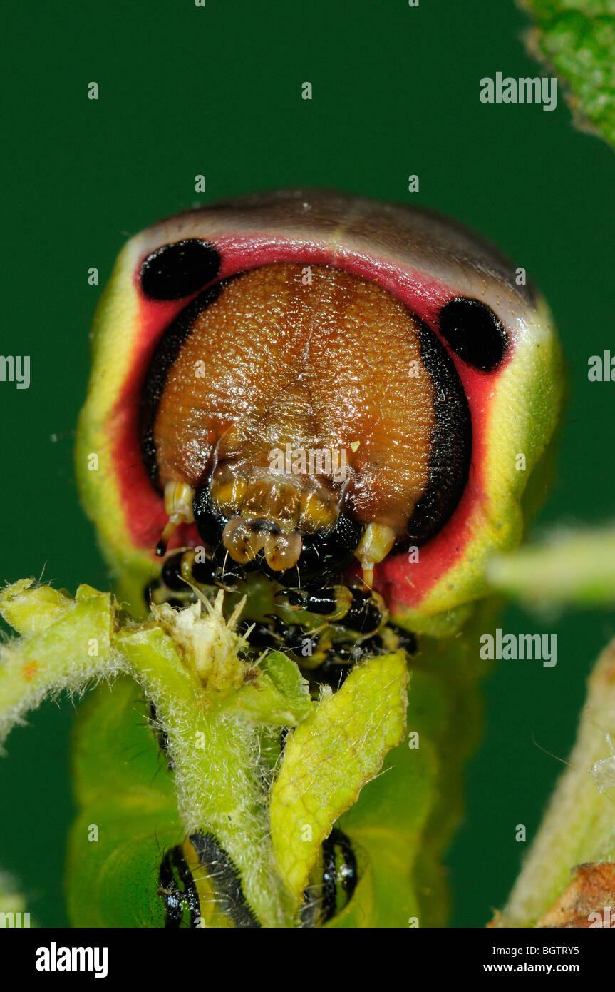 Pus Moth (Cerura vinula) close-up of caterpillar feeding on goat willow, Oxfordshire, UK. Stock Photo