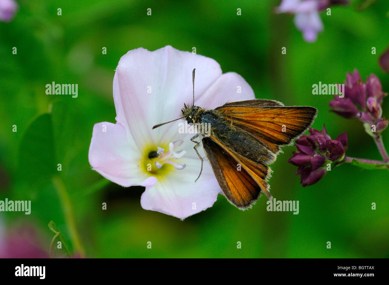 Small Skipper (Thymelicus sylvestris) butterfly feeding on lesser bindweed flower, Oxfordshire, UK. - Stock Image