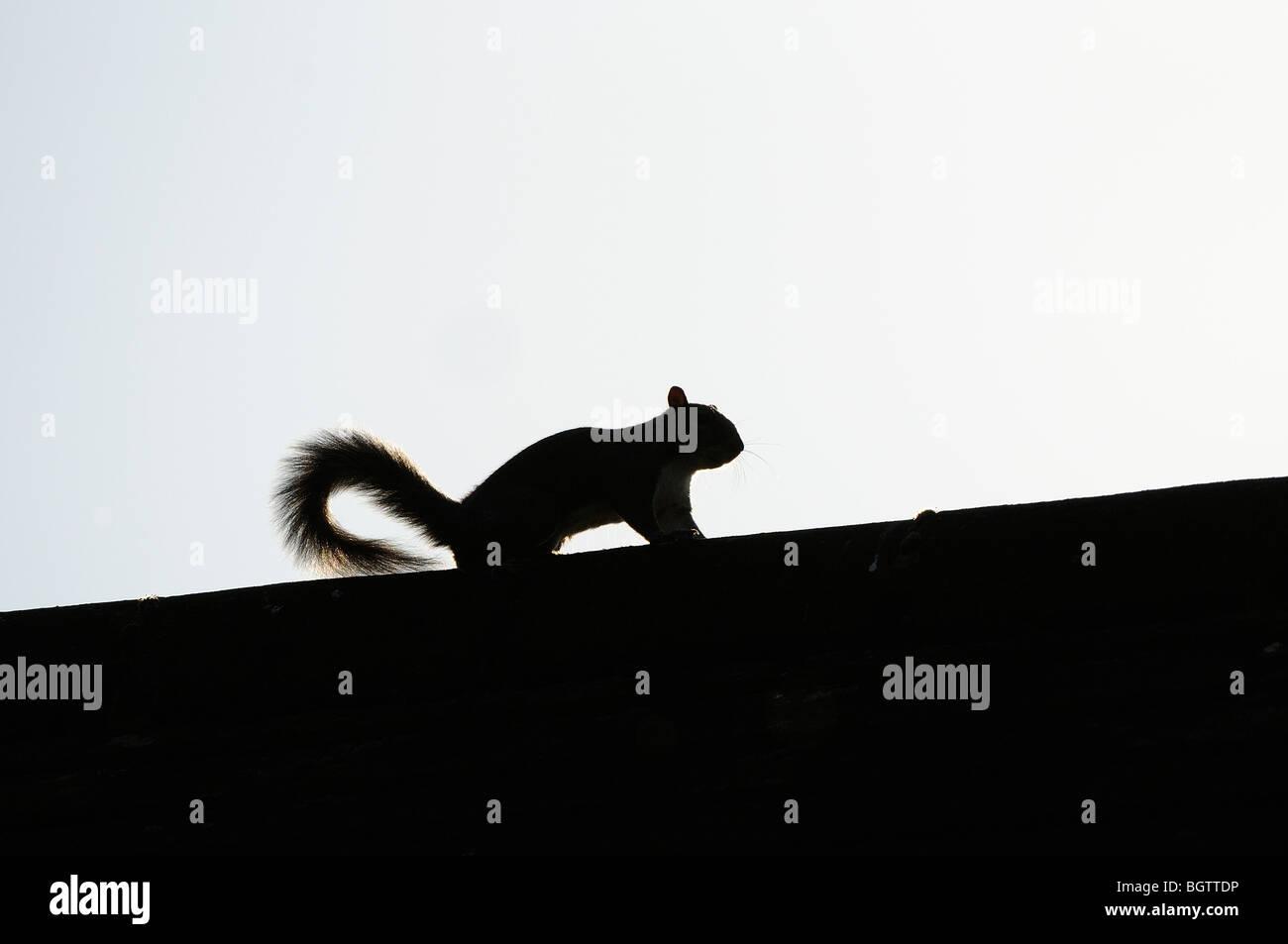 Eastern Grey Squirrel (Sciurus caarolinensis) silhouette on roof, Oxfordshire, UK. - Stock Image