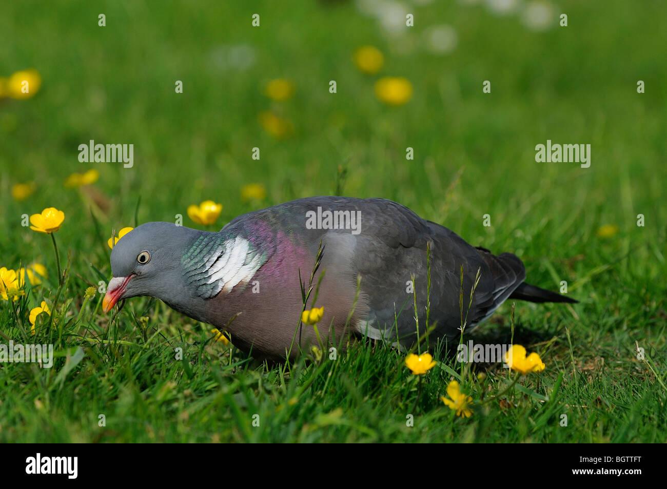 Woodpigeon (Columba palumbus) feeding on the groung amongst buttercups, Oxfordshire, UK. - Stock Image