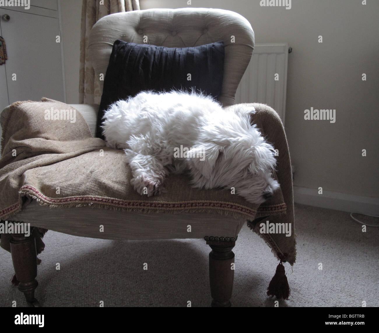 West Highland terrier - Stock Image