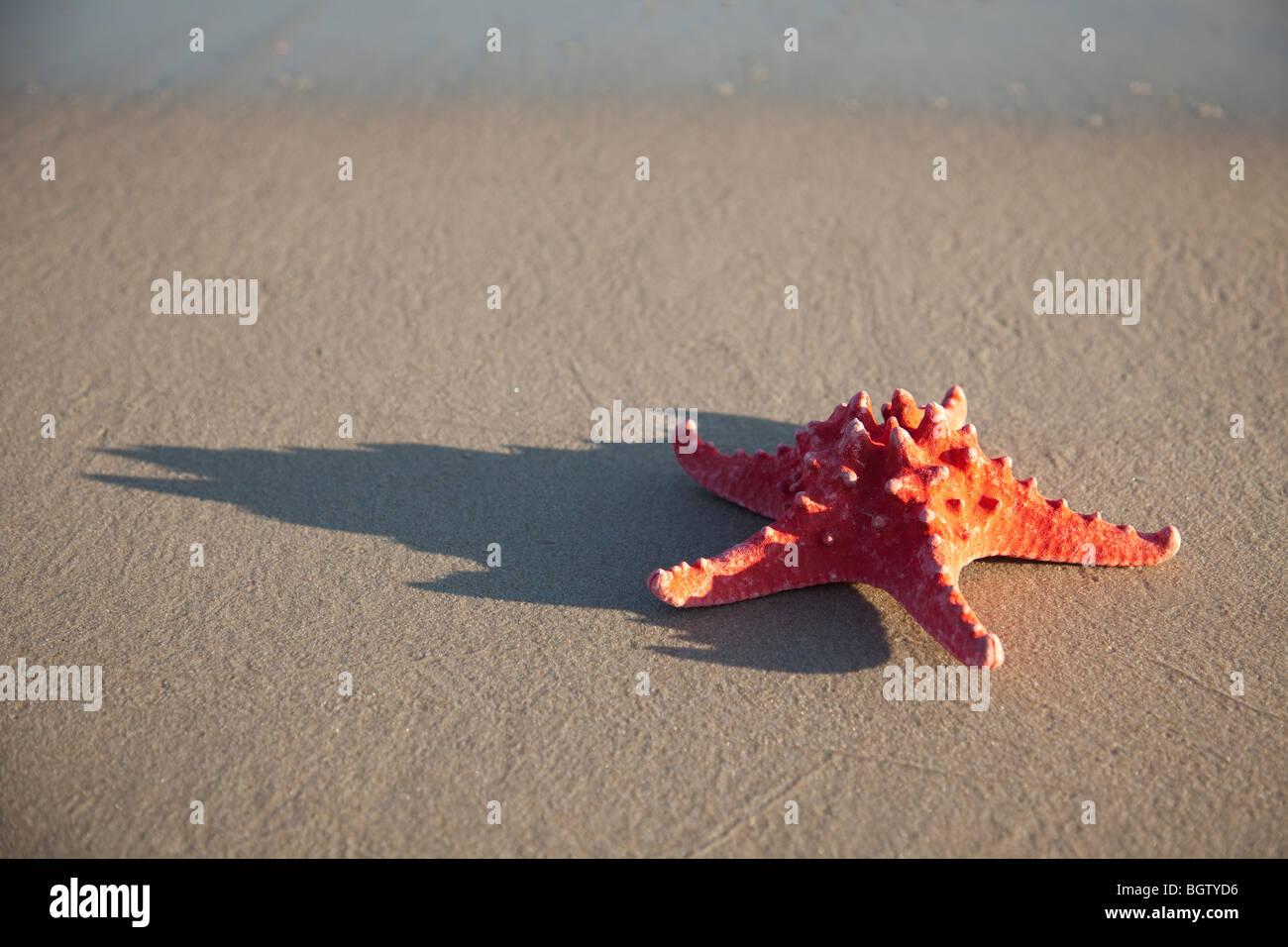 Red starfish on wet sand - Stock Image
