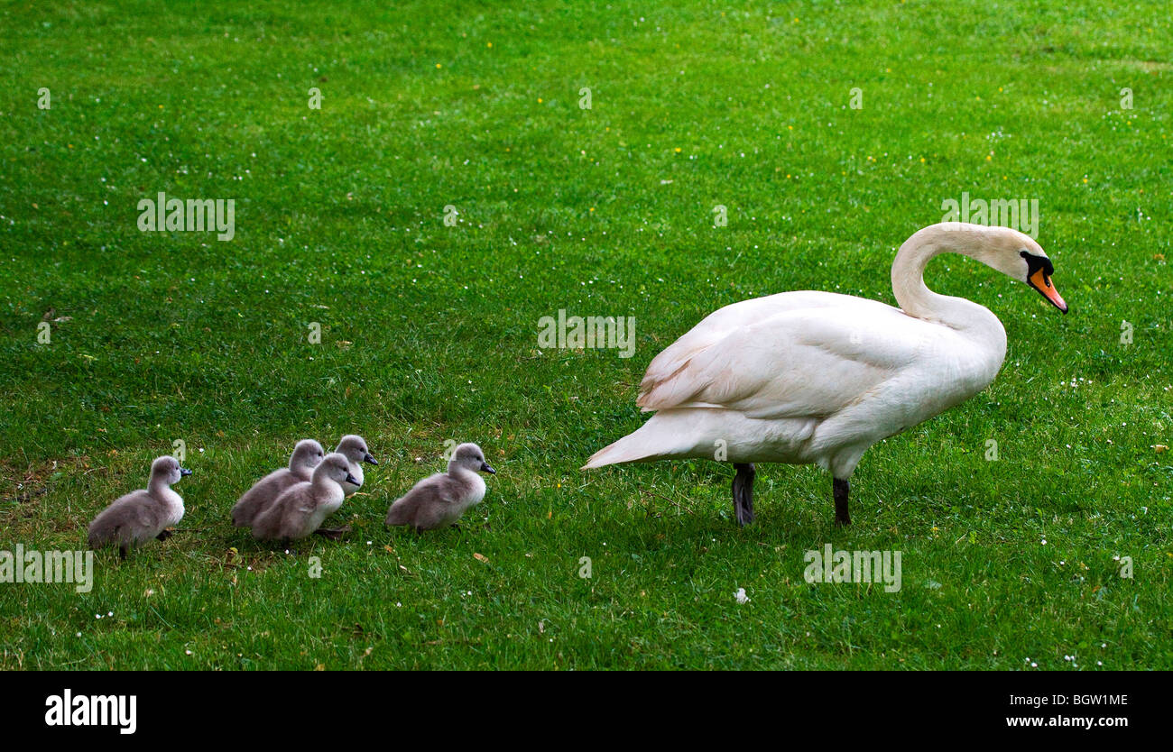 Swan with four young in single file Stock Photo