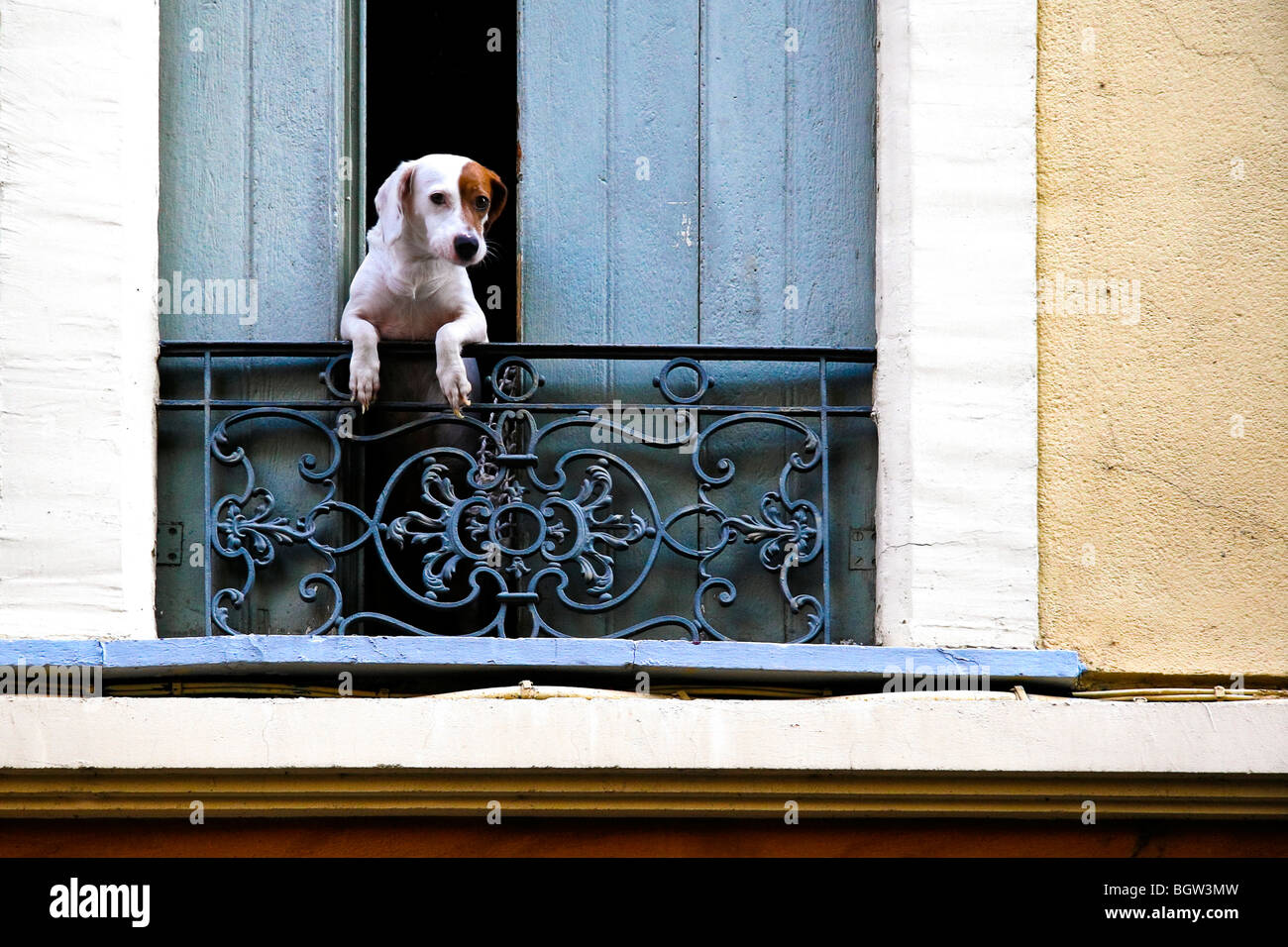 A cute French dog leans out of open shutters Stock Photo