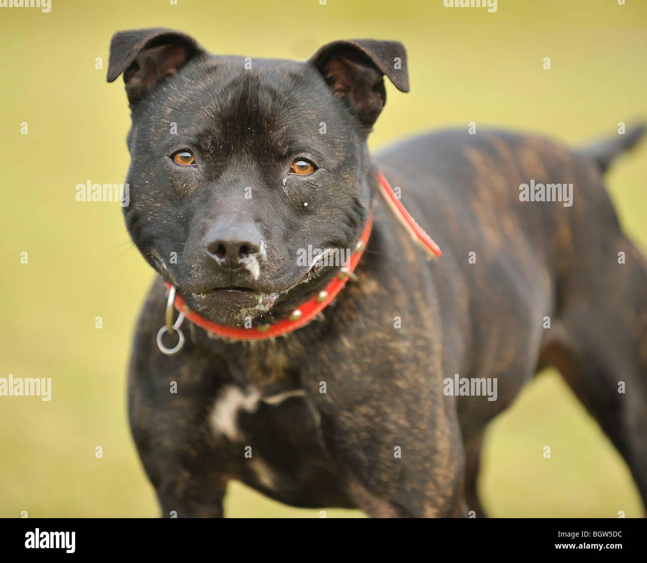 pit bull terrier type dog - Stock Image