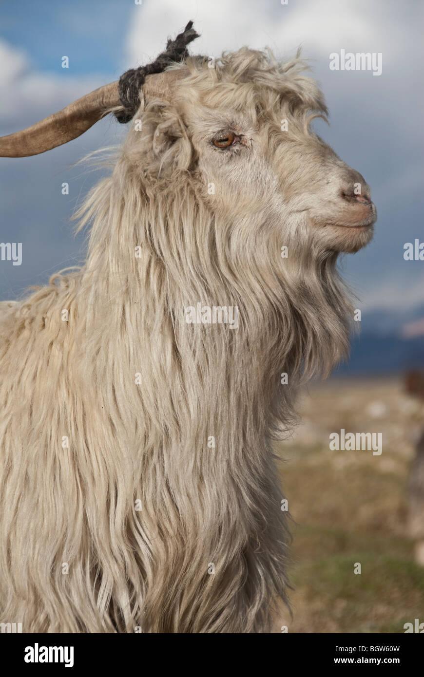 One White male goat, Murgab, Tajikistan. - Stock Image