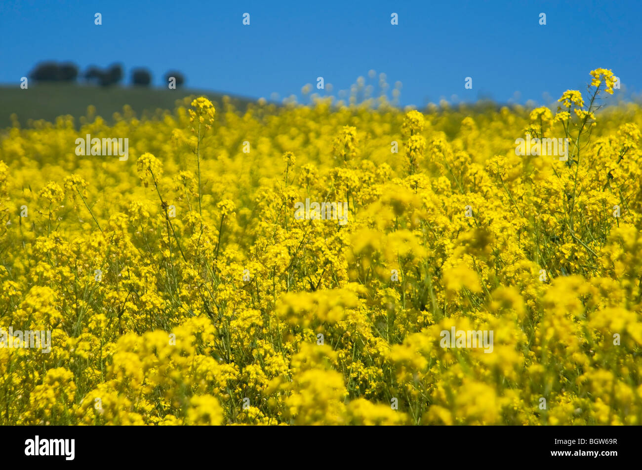 A field of yellow mustard flowers in wine country near napa valley a field of yellow mustard flowers in wine country near napa valley in california mightylinksfo