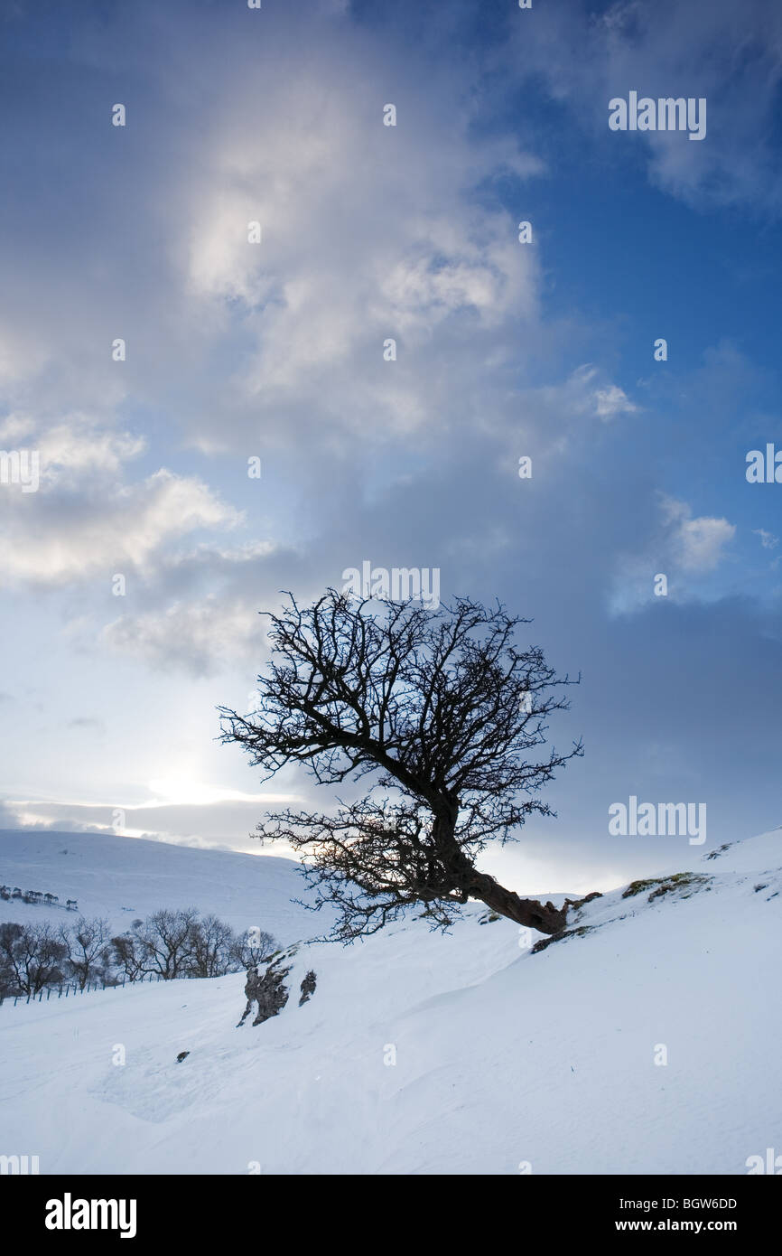 Lone Hawthorn Tree and Crisp Fresh Snow Drifts nearing sunset at Cray Upper Wharfedale Yorkshire Dales UK Winter - Stock Image