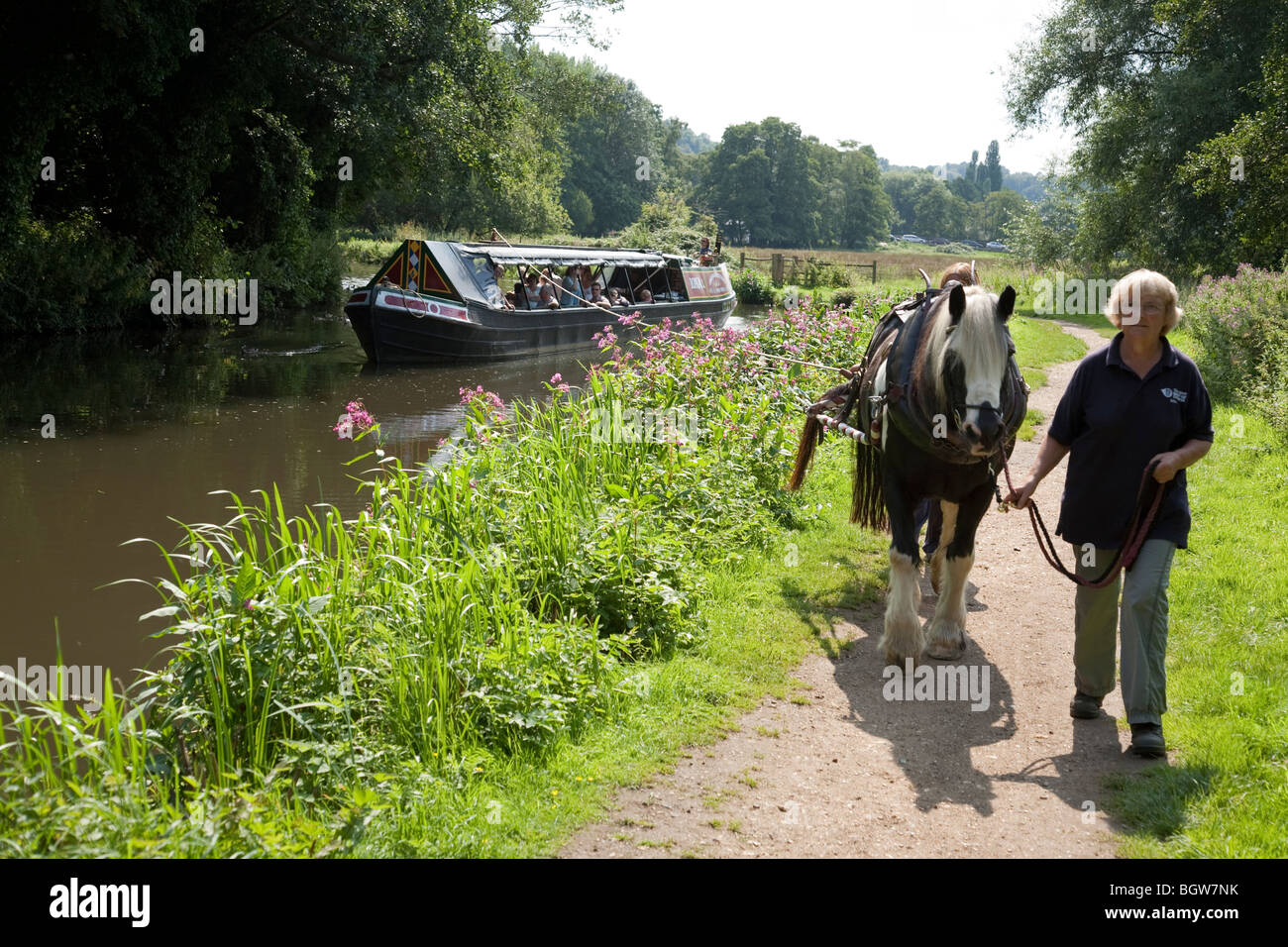 A Welsh Cobb horse is led along a towpath at it pulls a barge on the river Wey in Surrey, England, UK. - Stock Image