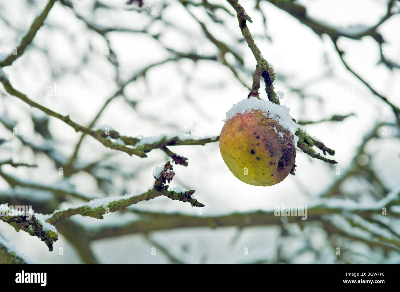 Bad old apple that has not fallen, caught in the snow Stock Photo