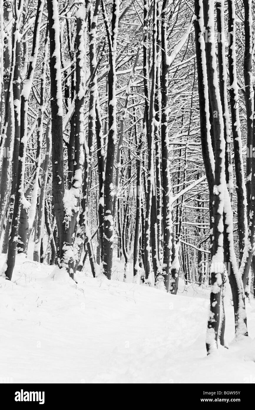 Trees in snow. Wood Hill Wood, Alva, Clackmannanshire, Scotland, UK. Black and White. - Stock Image