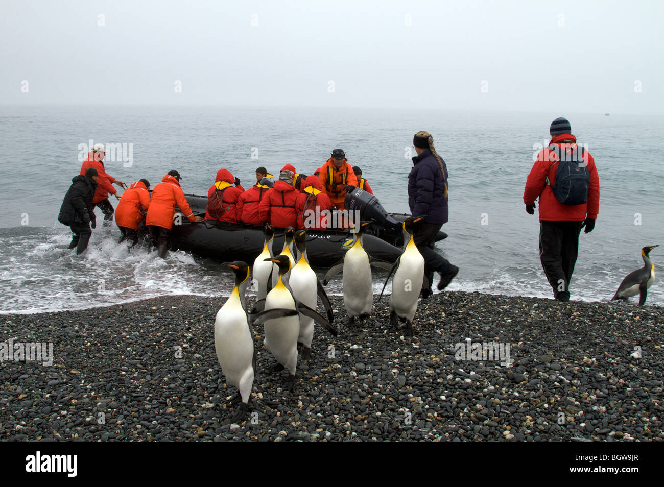 Visiting Salisbury Plain, South Georgia Island. King penguins on beach. - Stock Image