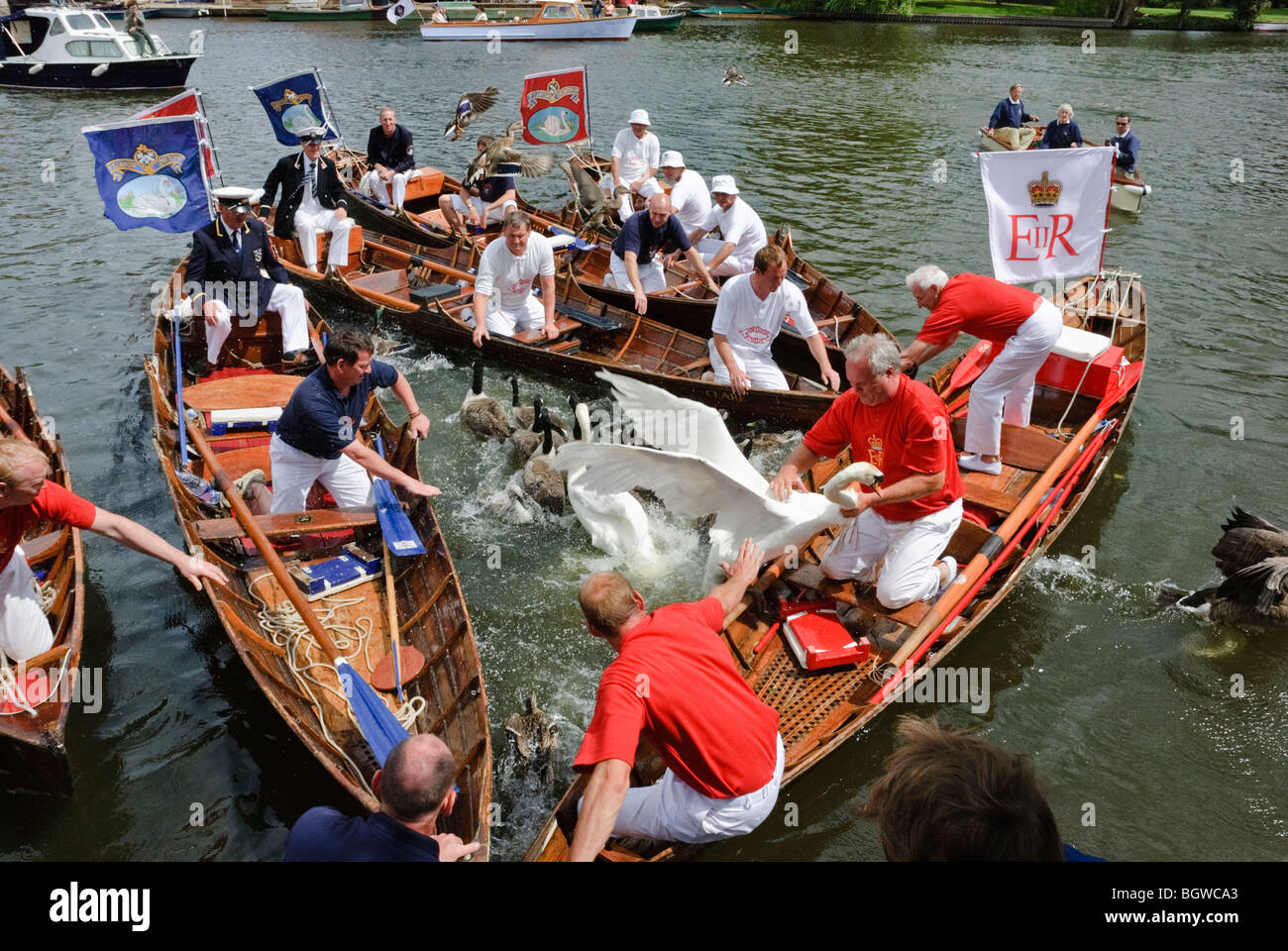The Annual Swan Upping Ceremony at Henley upon Thames. This is the ancient annual Census of the Queens Swans on - Stock Image
