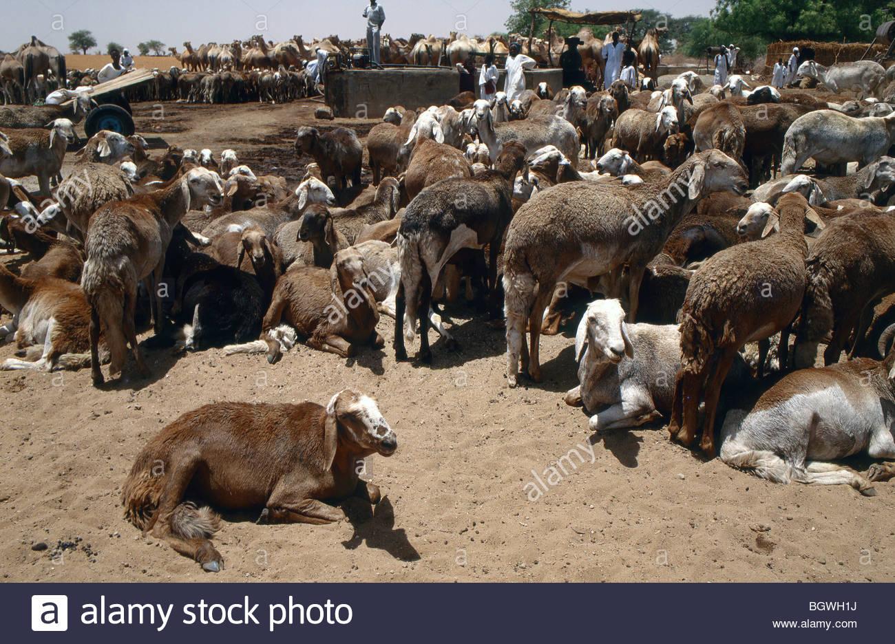 Sudan Live Sheep