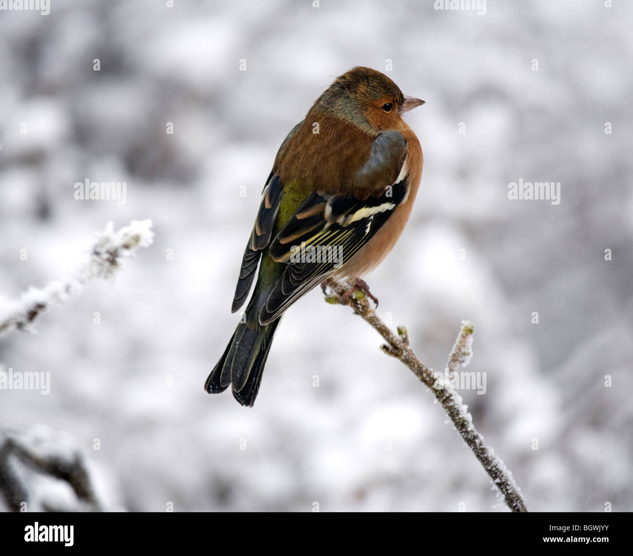Chaffinch Fringilla Coelebs in Winter perched on a branch. - Stock Image