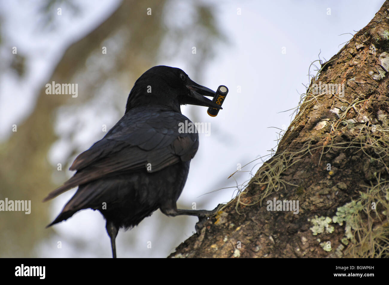Funny Crow Holding Battery Stock Photo 27611097 Alamy