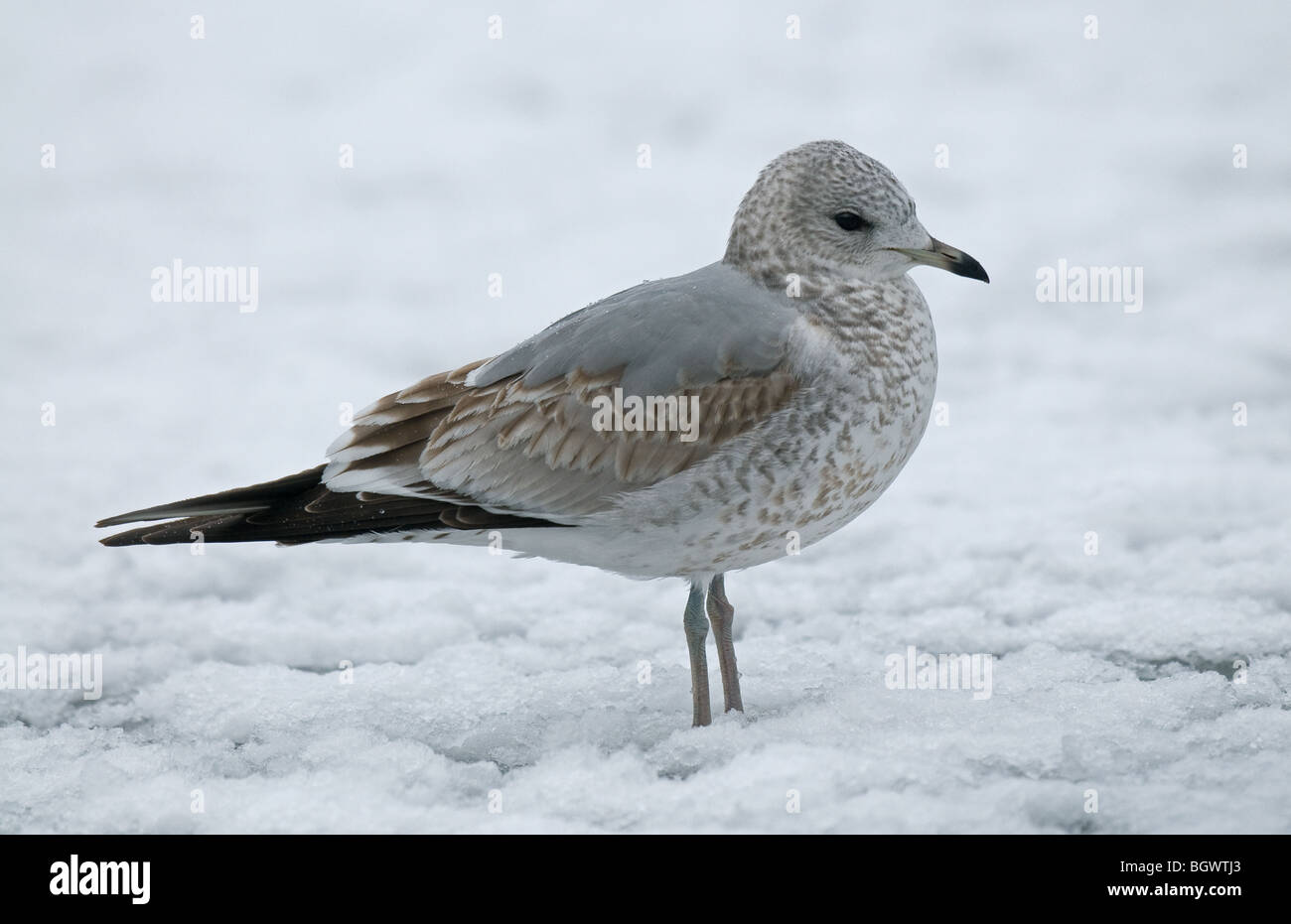 Common Gull in snow - Stock Image