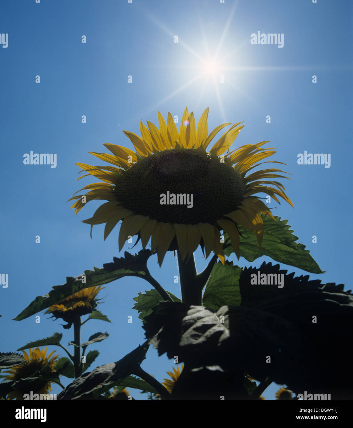 Sunflower head against a bright summer sun and a dark ble sky, Tuscany, Italy - Stock Image