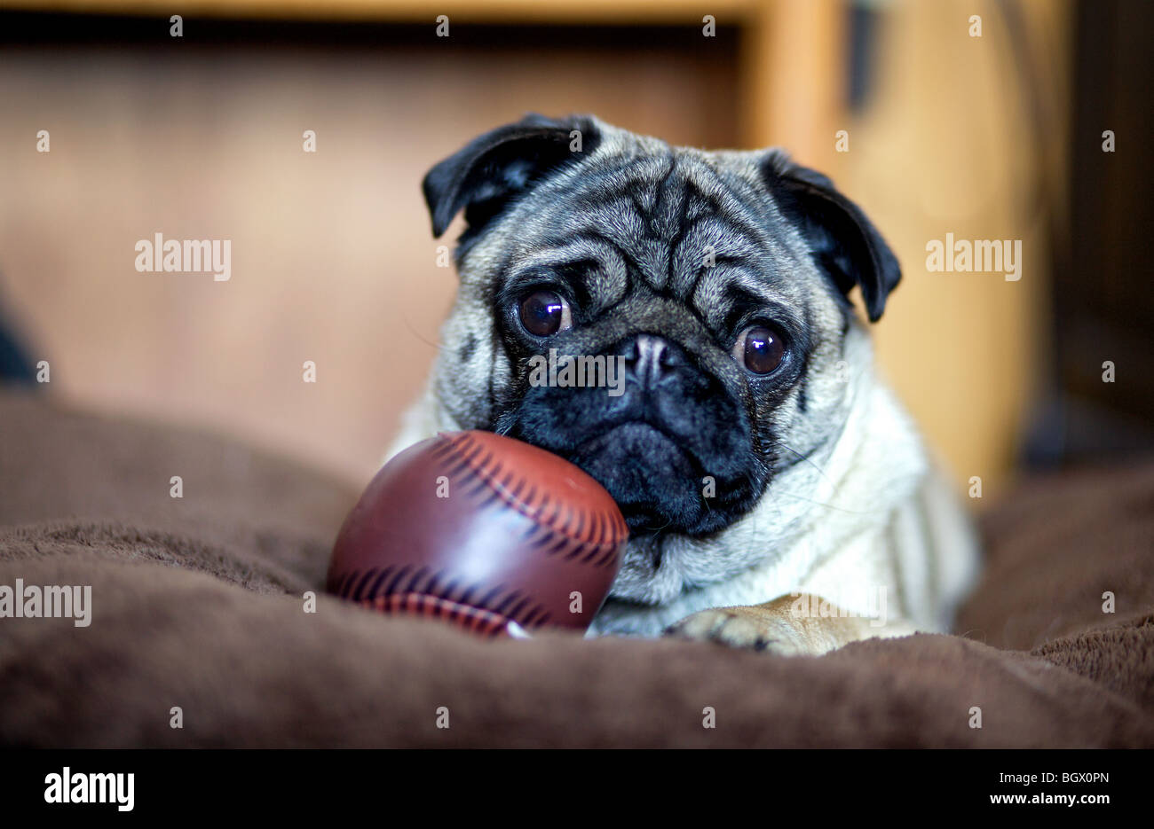 A pug puppy rests on a big pillow with a play baseball. - Stock Image