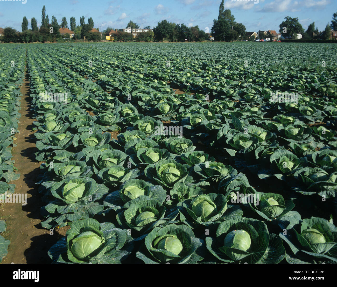 Mature Primo cabbage crop in market garden in Berkshire - Stock Image