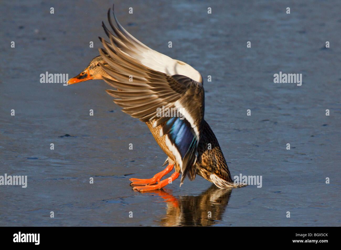 Mallard duck hen landing on frozen lagoon-Victoria, British Columbia, Canada. - Stock Image