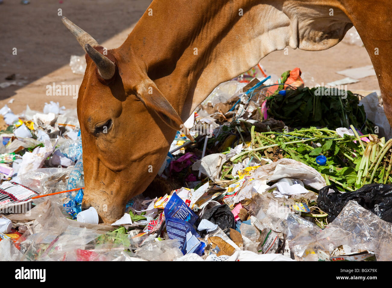 Cow eating garbage in Pushkar, India - Stock Image