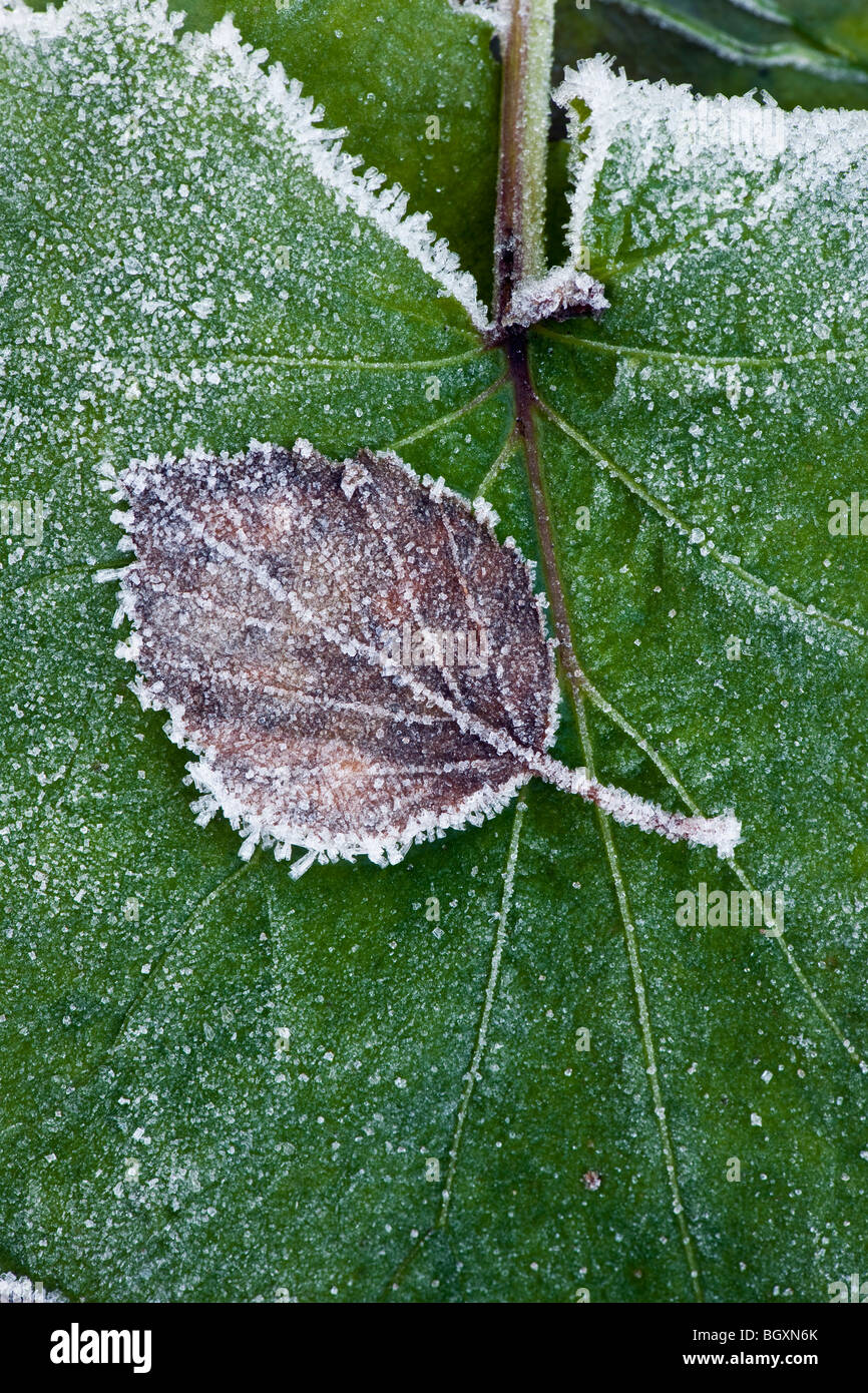 Brown and withered birch leaf with frost and rime on top of a large, green leaf. Stock Photo