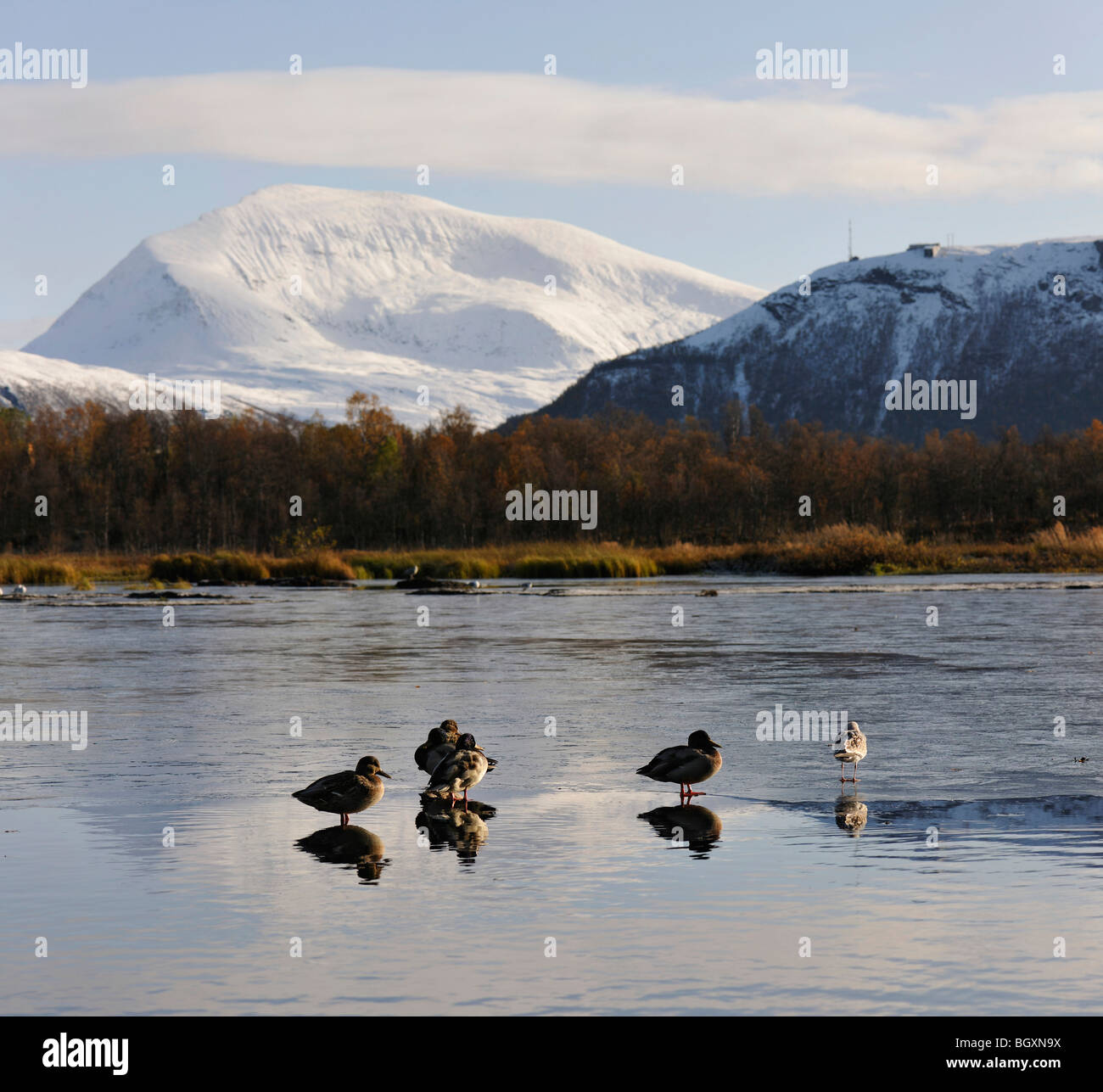Mallard ducks and a seagullon a thin surface of ice on a lake. Reflections, mirror images, of the birds. Tromso, North Norway. Stock Photo