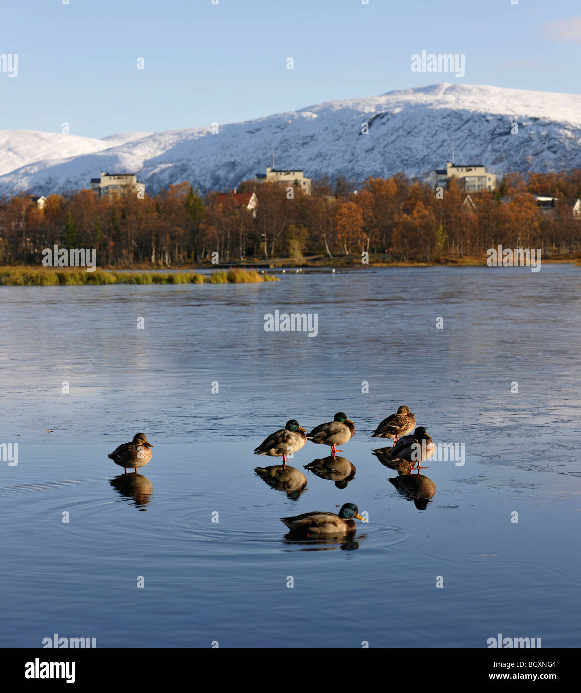 Mallard ducks on a thin surface of ice on a lake. Reflections, mirror images, of the birds. Tromso, North Norway Stock Photo