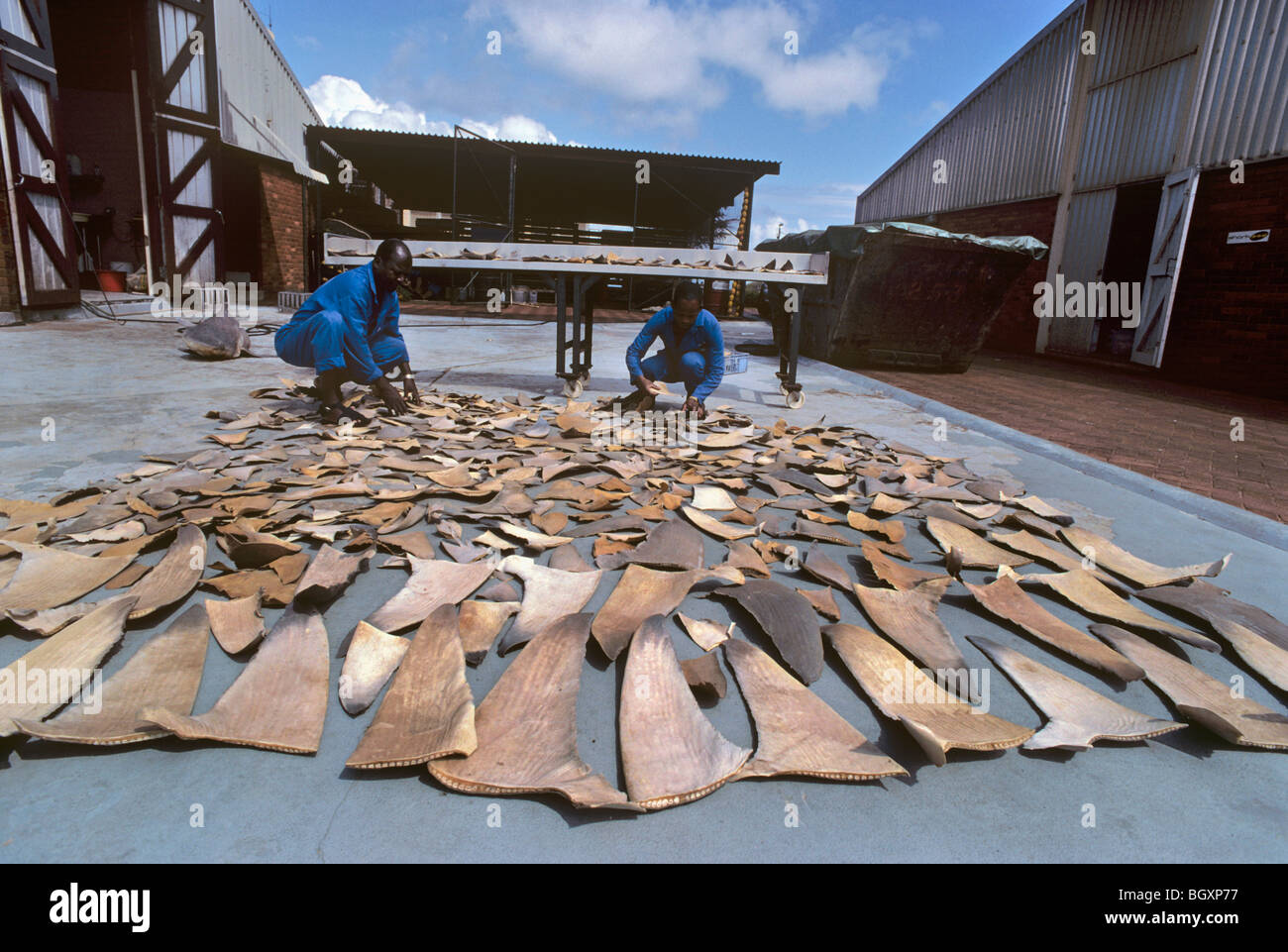 Drying Shark fins to Hong Kong for Shark fin soup and medicine. - Stock Image