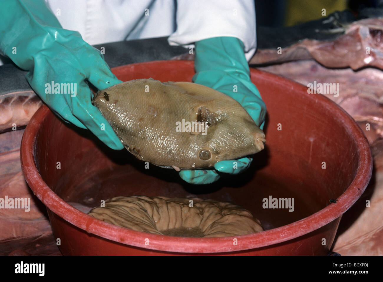 Trigger fish found in stomach of three meter Tiger Shark (Galeocerdo cuvier) - Stock Image