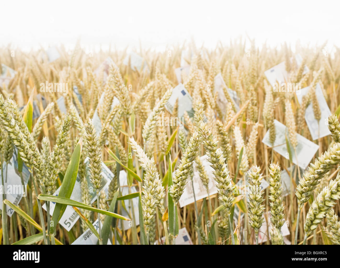 Wheat Field with money - Stock Image
