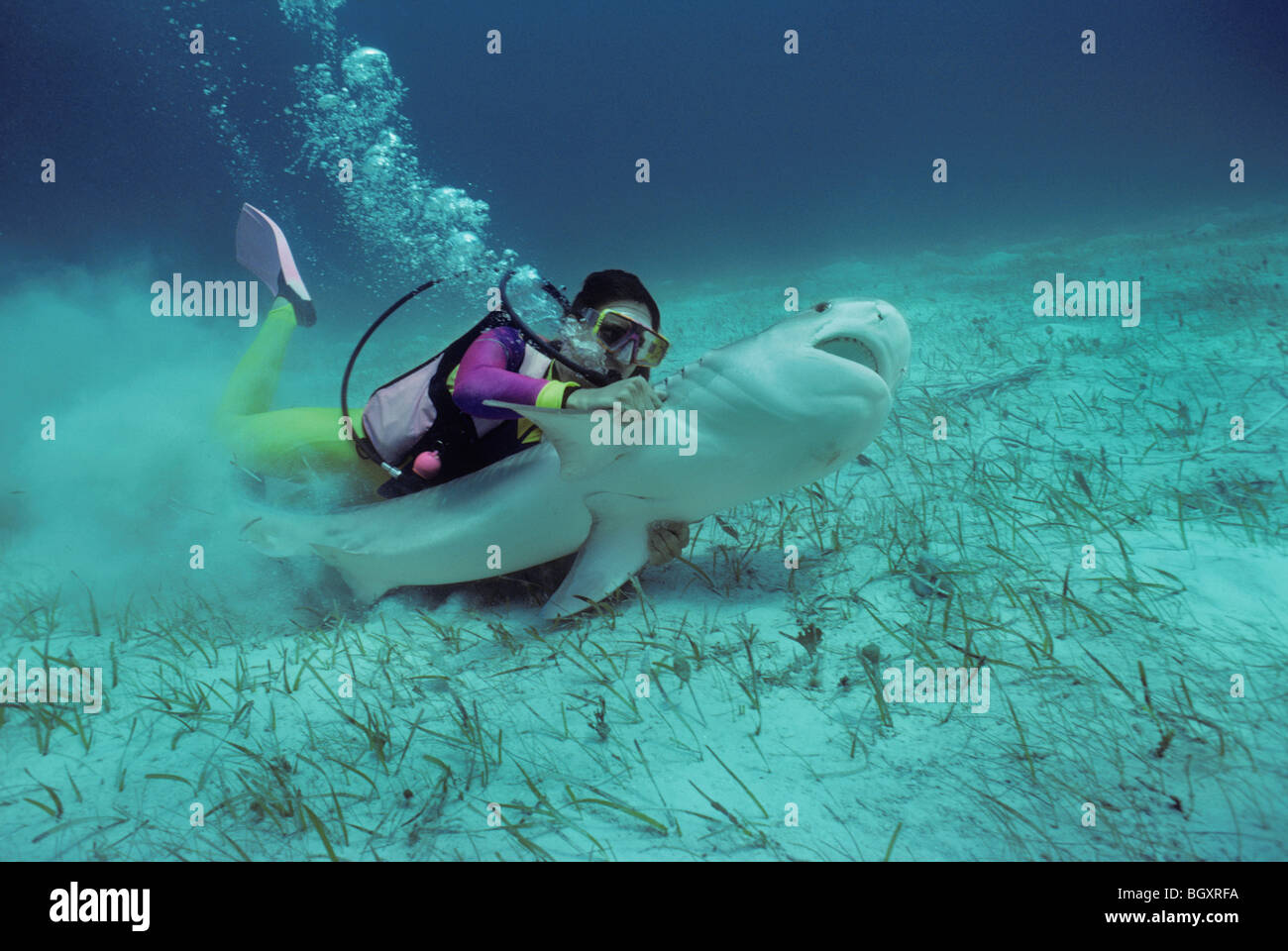 Scientsist revives and saves Tiger Shark (Galeocerdo cuvier) by forcing water across its gills - Stock Image