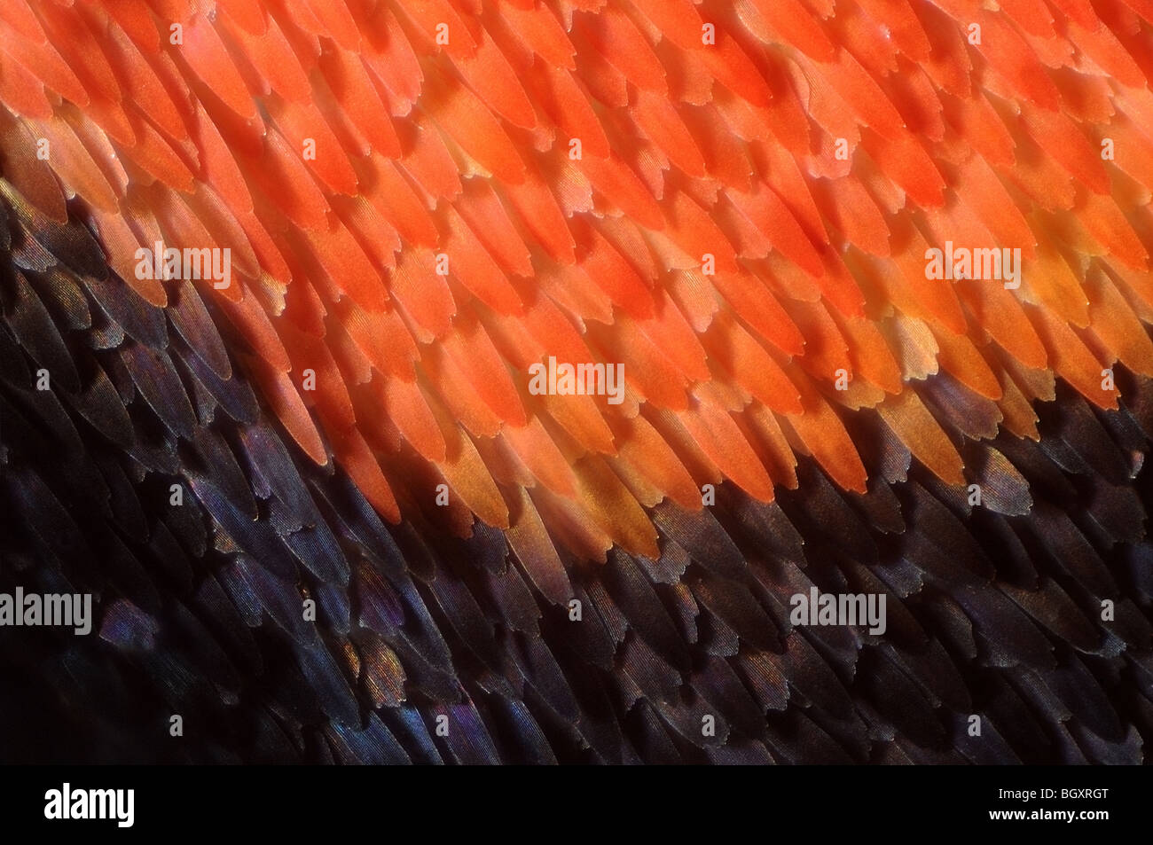 Wing scales of the Scarlet tiger moth, Callimorpha dominula - Stock Image