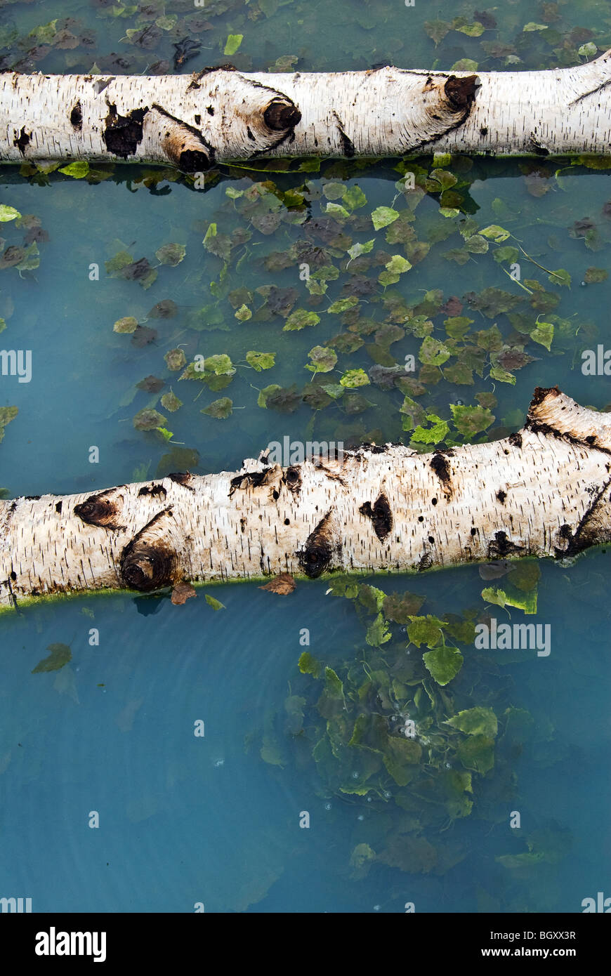 trunks of birch in the hot spring of Manziana in Italy - Stock Image