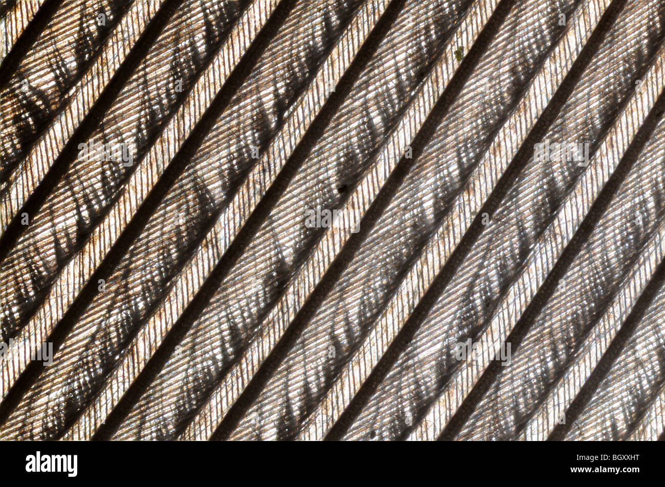 microscopic image of the patterns made by a pigeon feather - Stock Image