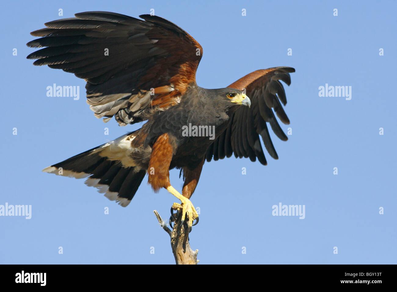 Harris' Hawk - Stock Image