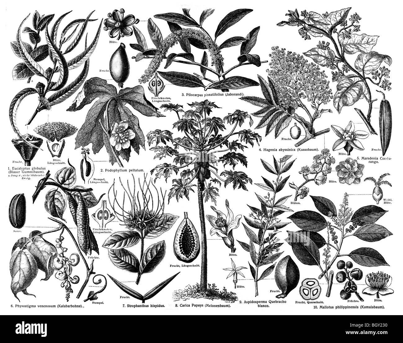Medicinal Plants C - Stock Image