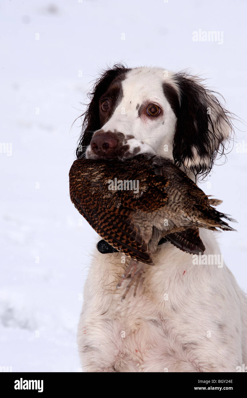 Spaniel with Woodcock in mouth - Stock Image