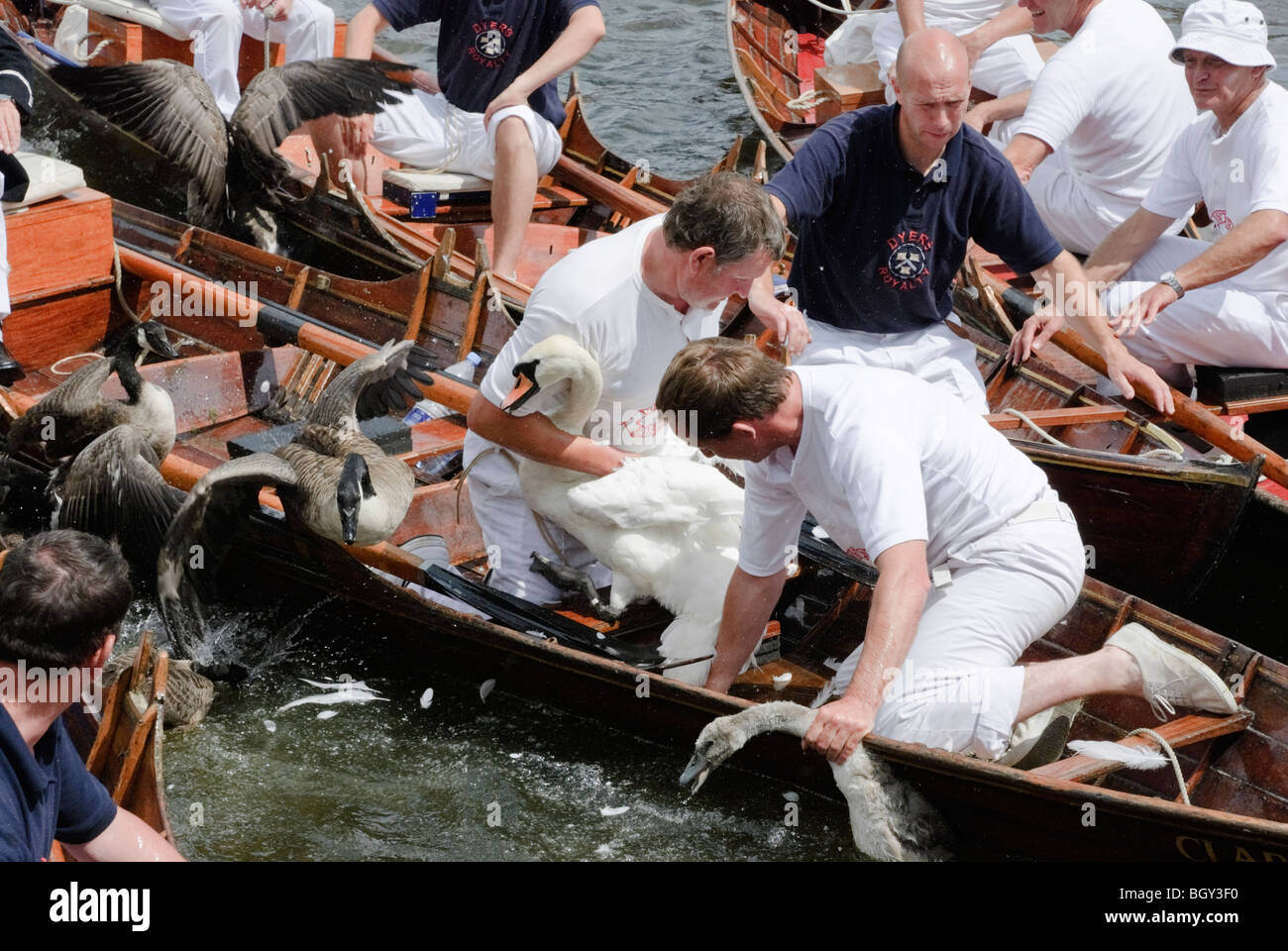 The Annual Swan Upping Ceremony at Henley upon Thames. - Stock Image