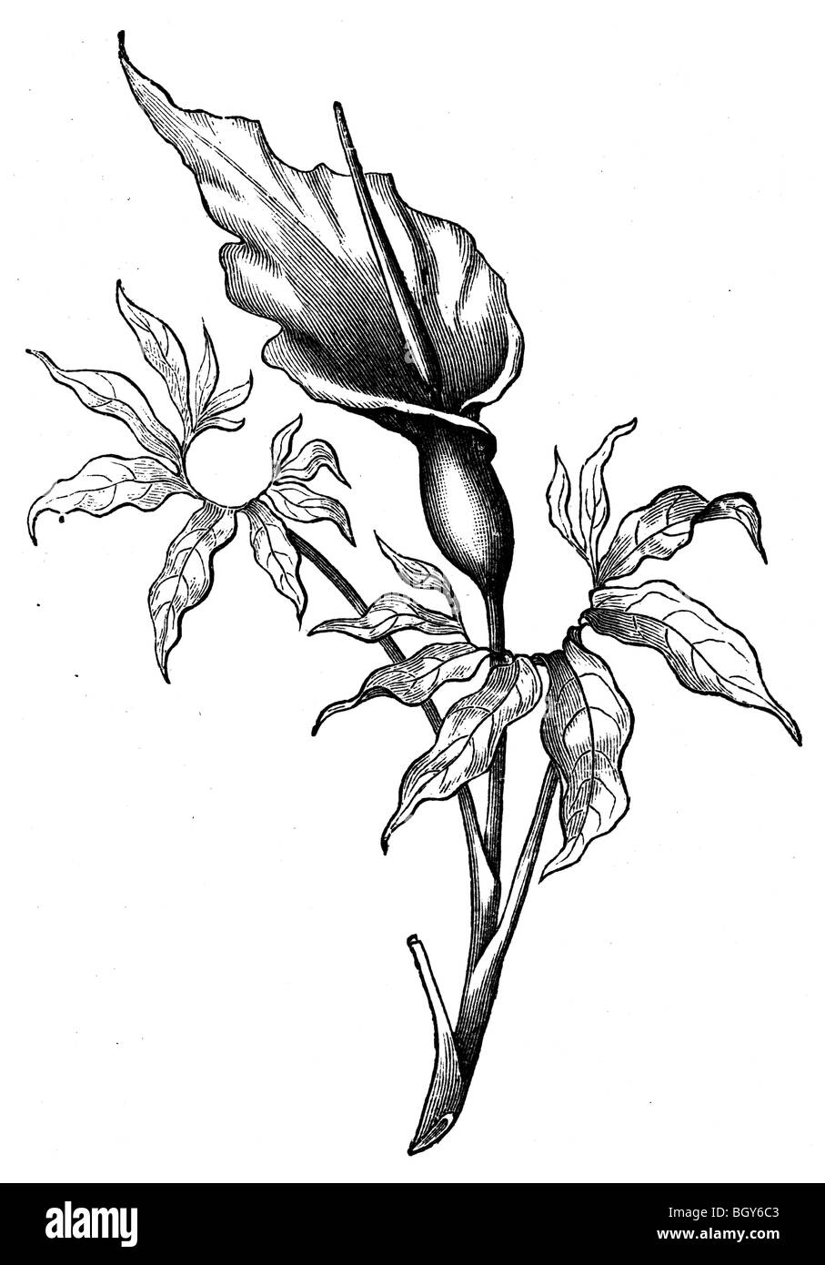 Poison plant, Calla - Stock Image