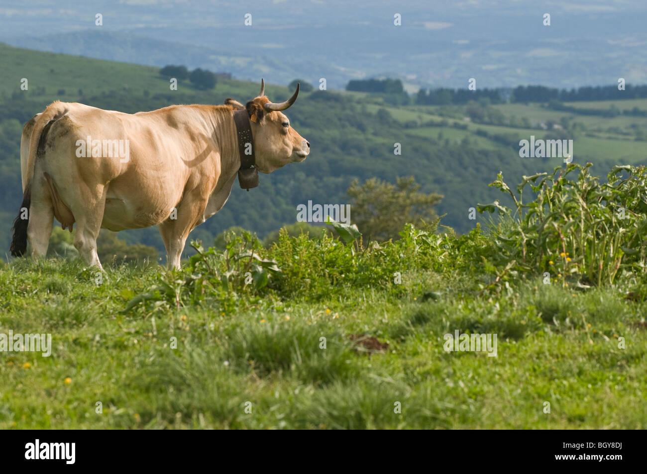 An Aubrac cow, wearing a traditional bell necklace, contemplates the immense wild landscape of Aubrac, France - Stock Image