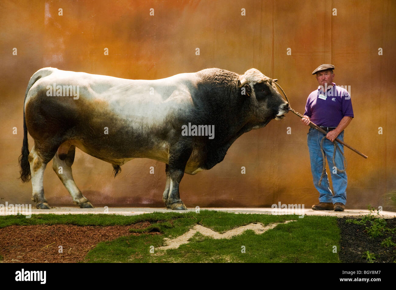 Bull  winner Gasconne breed - Stock Image