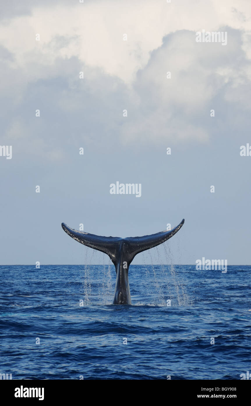 Humpback whale tail slapping under clouds. - Stock Image