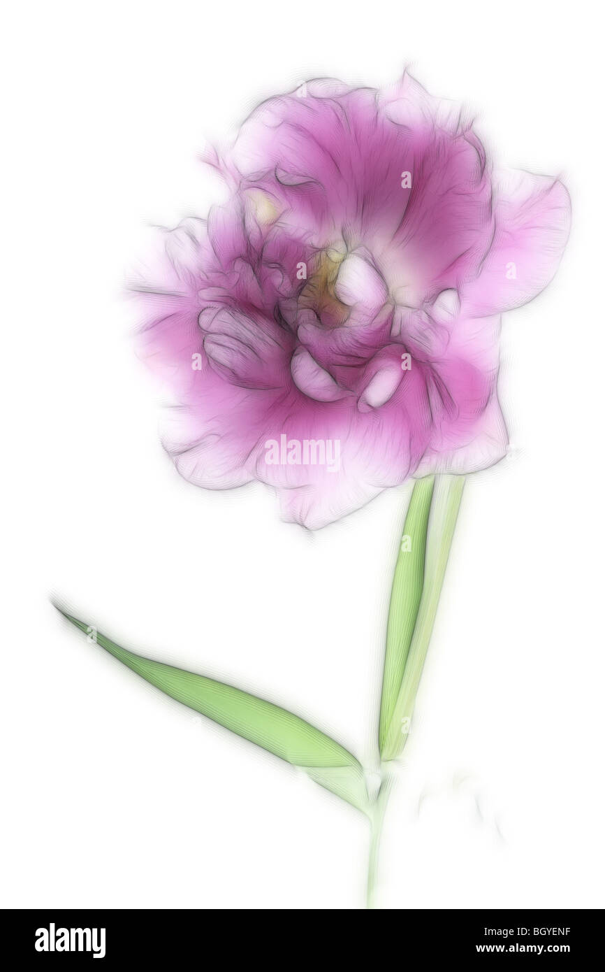 Photo illustration:  A close-up of a single pink tulip in full bloom - Stock Image