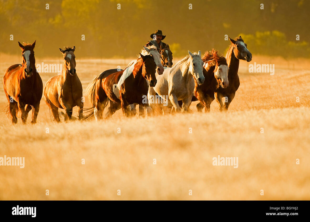 Cowboy herding horses Stock Photo